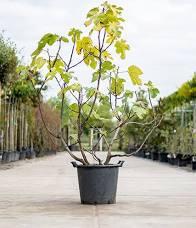meerstammige krentenboom